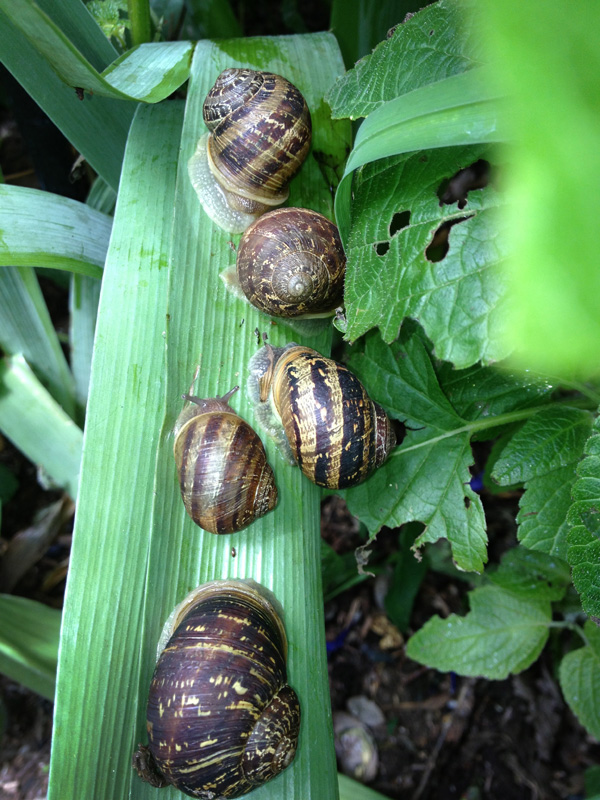Horticultural Care Snails